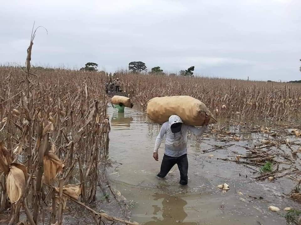 Durch den Hurrican Eta zerstörte Maisfelder in Guatemala